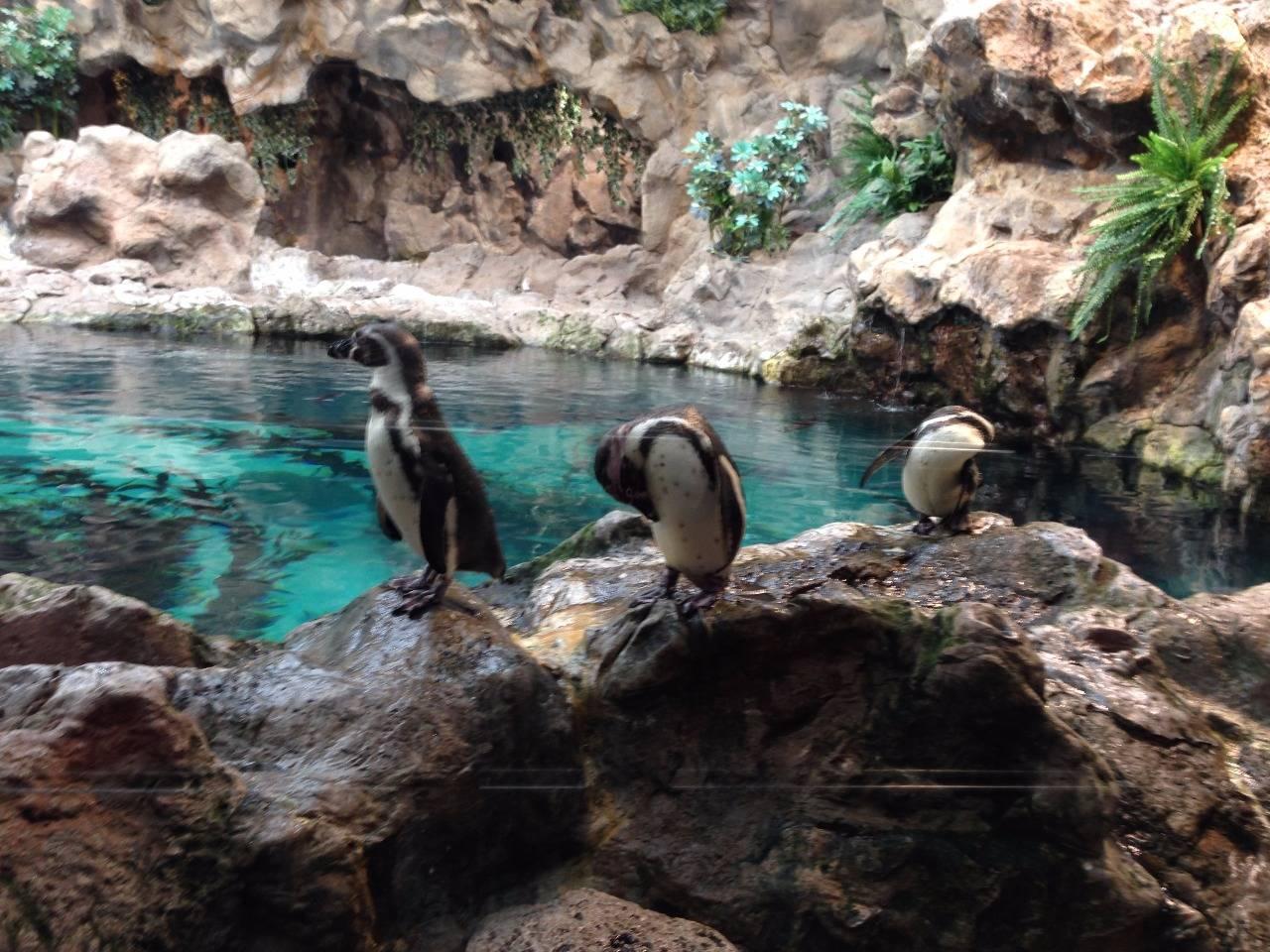 Пингвины Лоро парк